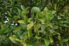 Zypern - Essen - Zitronenbaum