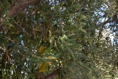 Zypern - Essen - Olivenbaum