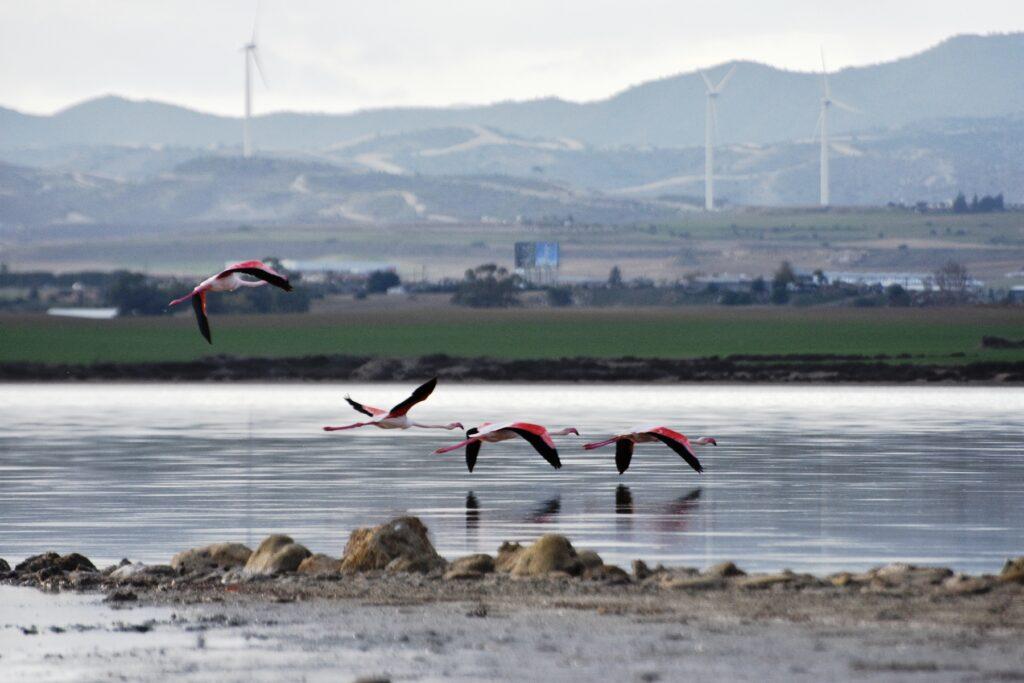 Flamingos im Flug über dem Salzsee Larnaka. Sie sind jedes Jahr eine neue Attraktion.