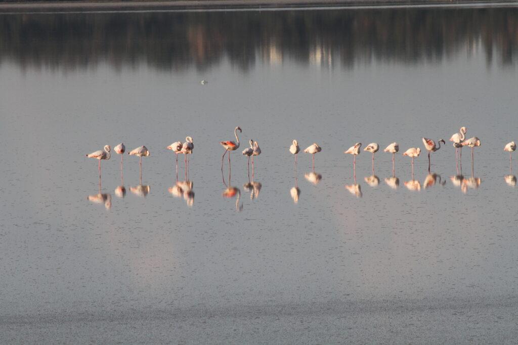 Flamingos im Salzsee Larnaka. Sie sind jedes Jahr eine neue Attraktion.