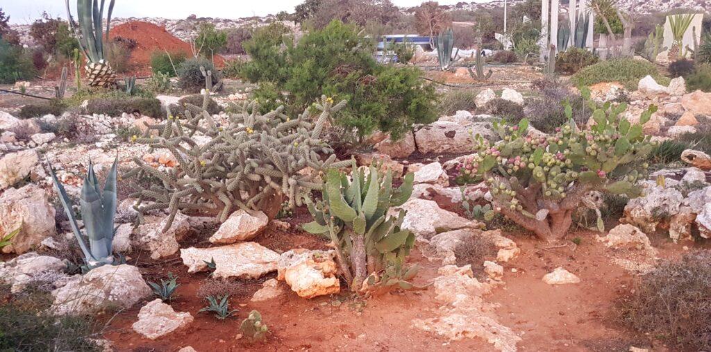 Zypern - Ayia Napa - Kakteen und Sukkulentenvielfalt auf Zypern